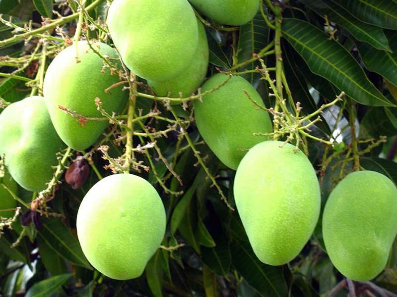 mango-amra